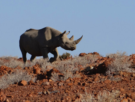 Perceptions and histories of black rhino in west Namibia