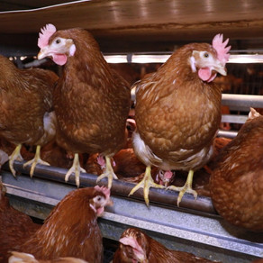 All chickens are actually Henny Penny