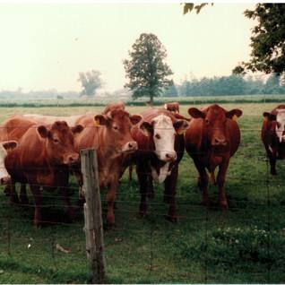 Schertzl family cows