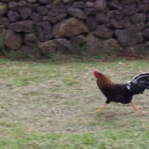 A chicken mystery on Easter Island