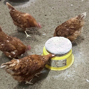 Pecking Part 3: Prevention and Treatment