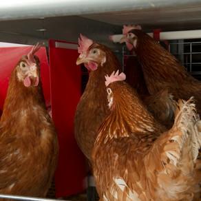 Behavioural priorities of chickens