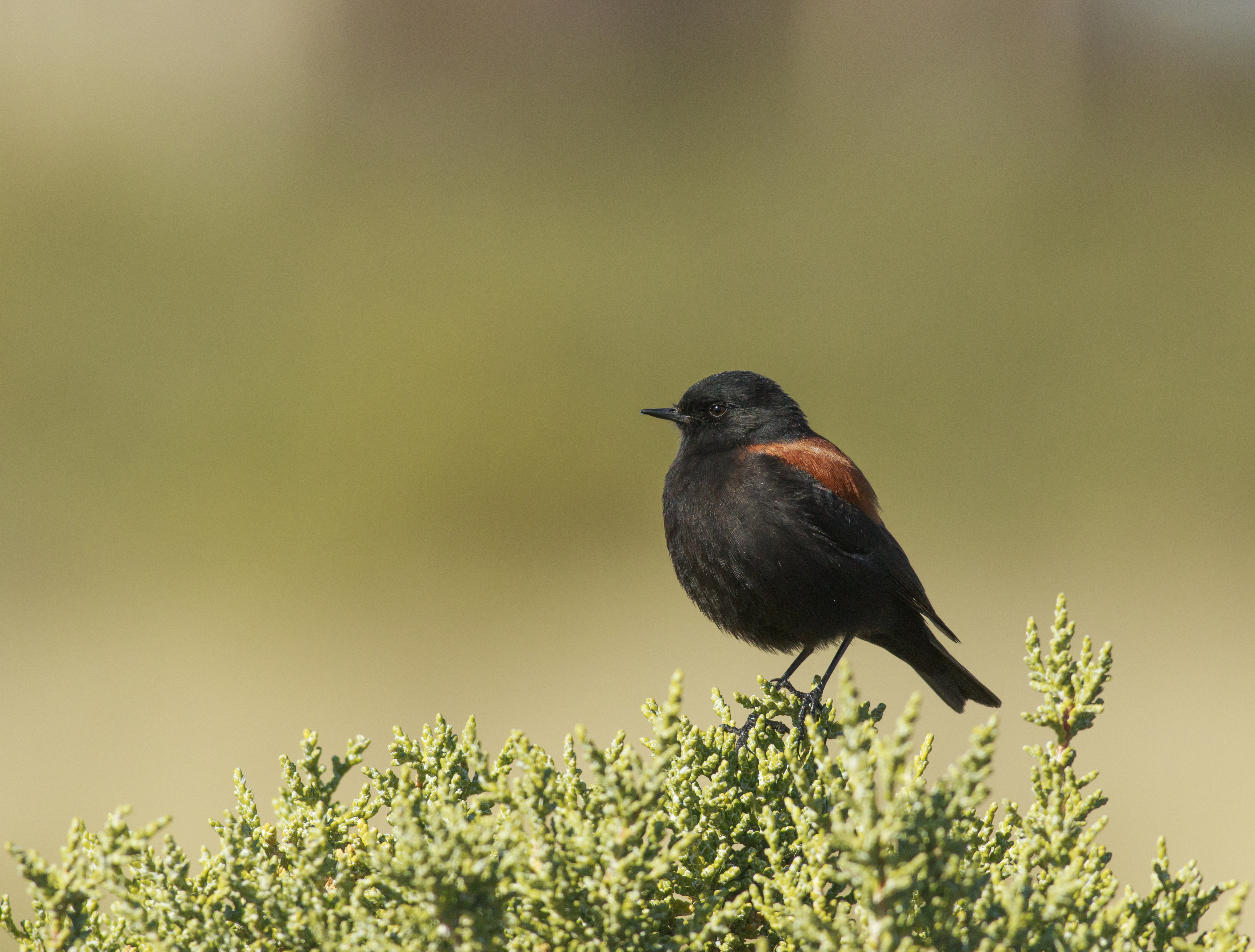 Rufous-backed Negrito