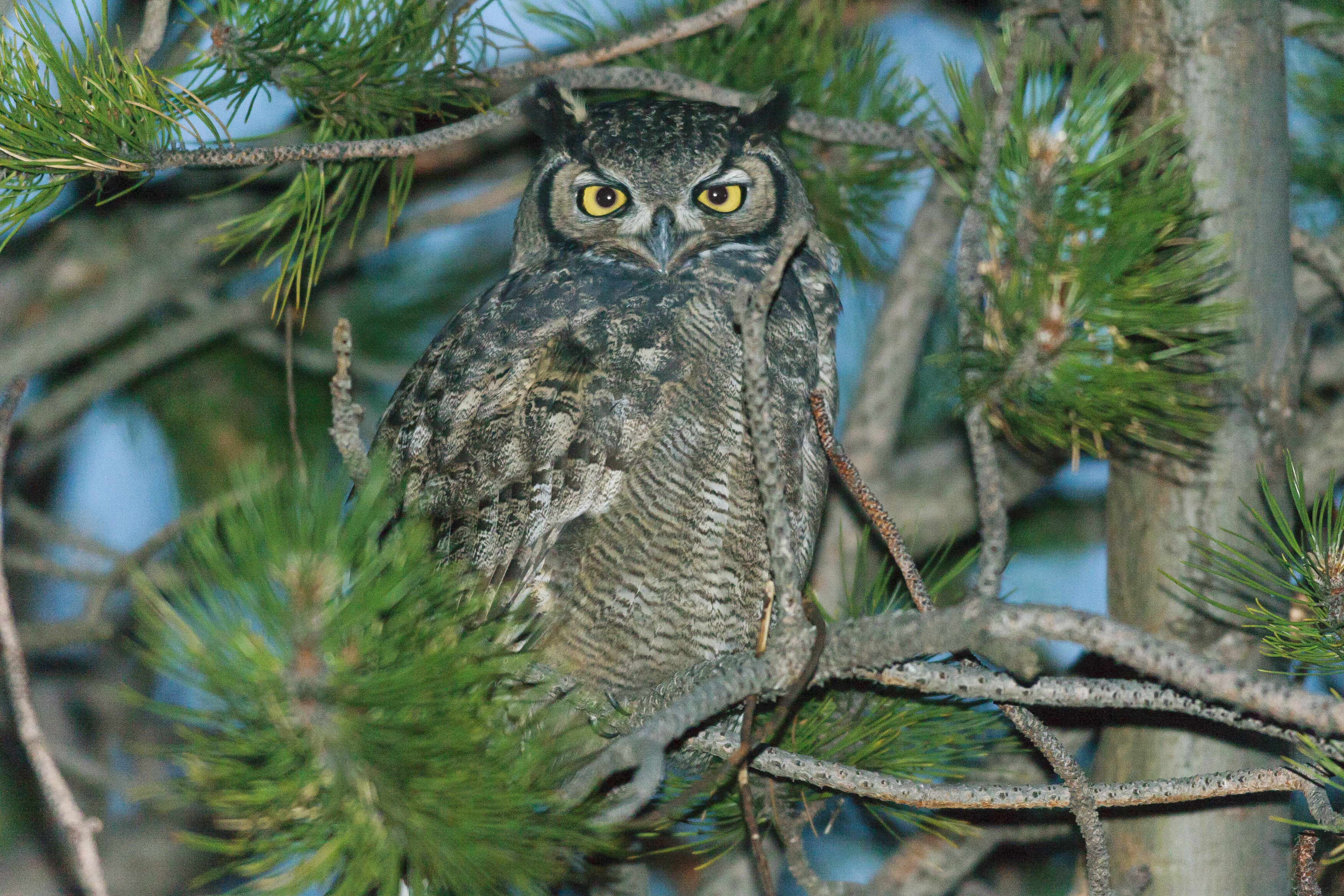 Magellanic-horned Owl