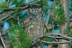 Magellanic-horned Owl