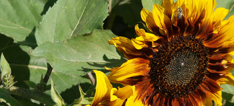 Sunflower in all its glory