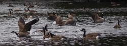 Jedburgh Pond, Ayr, Ontario