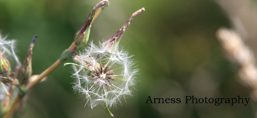 Magic Dandelion Seeds