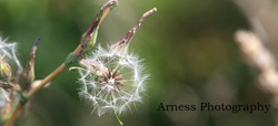 Magic Dandelion Seeds