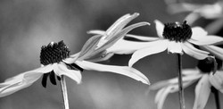 Black & White Black Eyed Susan