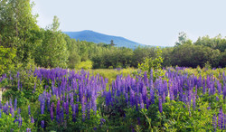 Lupines in Western Maine