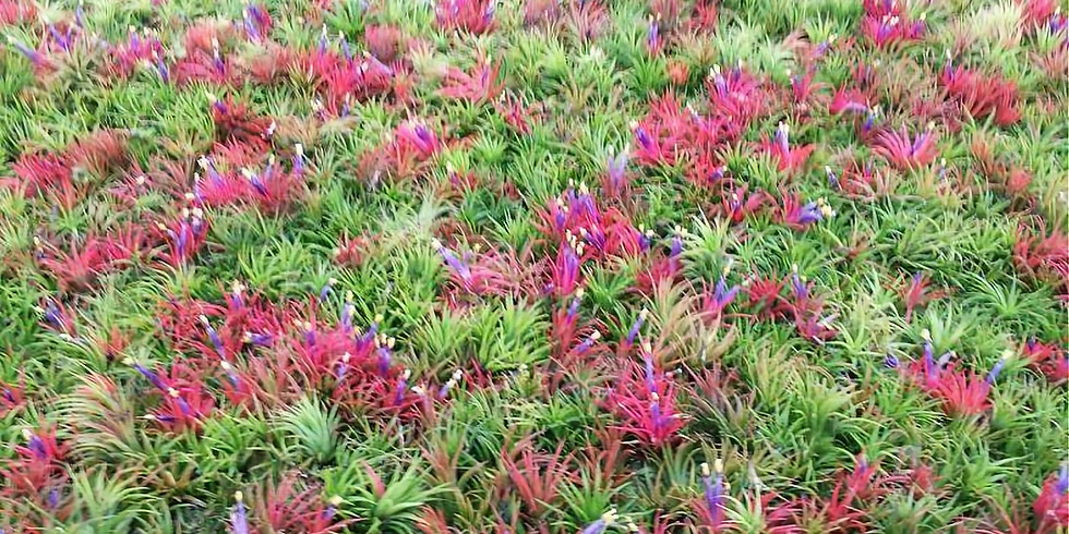 November: Joan Whithorne: Air Ferns and Bromeliads