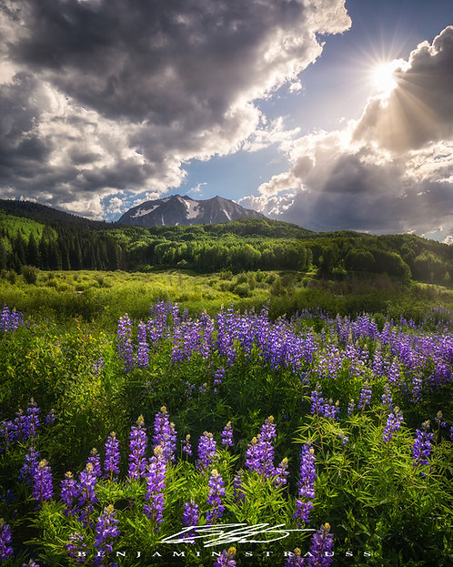 Lupines and Sunshine