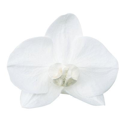 OHC-00340-001 Phalaenopsis White Beauty - Pure White