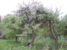 Pielęgnacja starych odmian drzewa owocowych, ogród pomologiczny