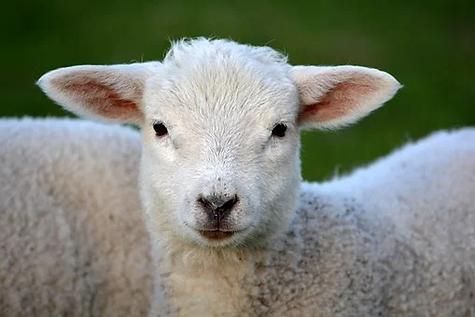 lamb-292512__340.webp
