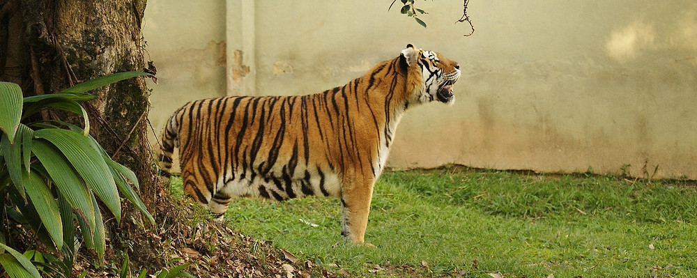 Grandes felinos do Zoo-VR | Tigre-de-bengala | Panthera tigris tigris