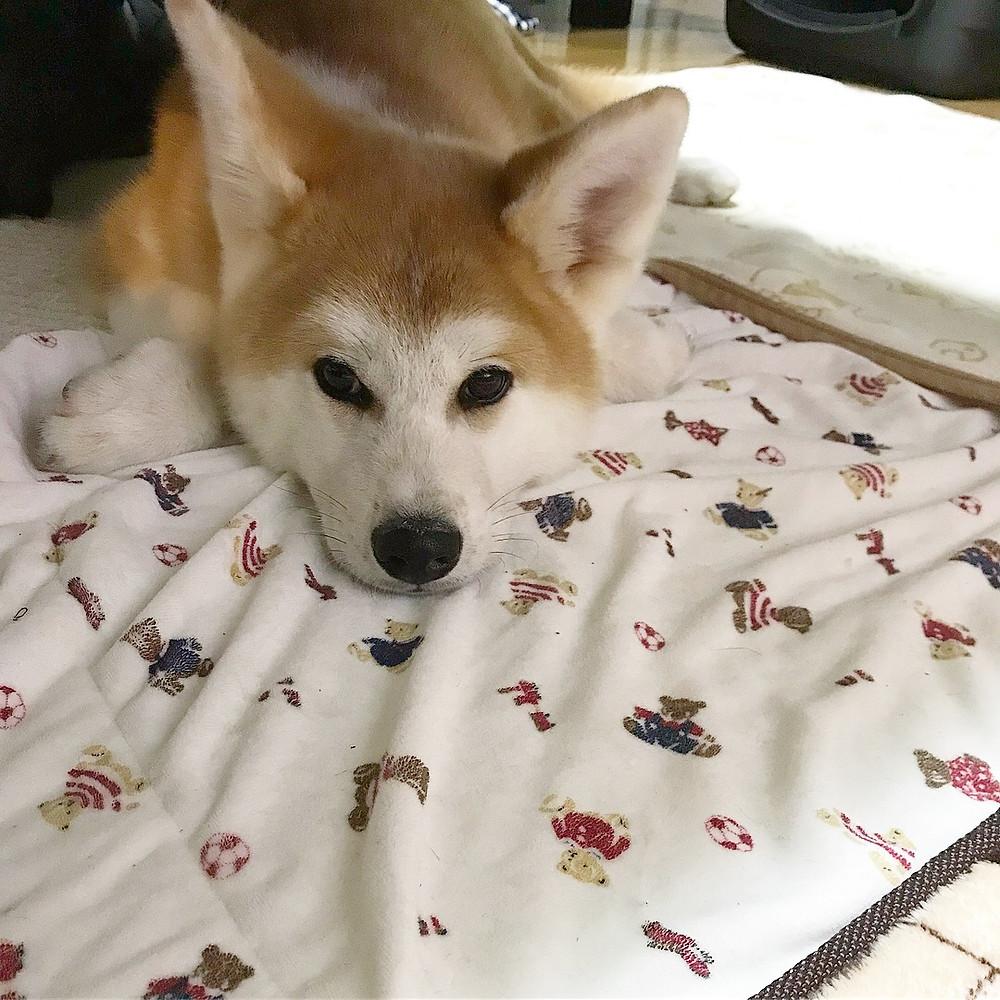金時 秋田犬