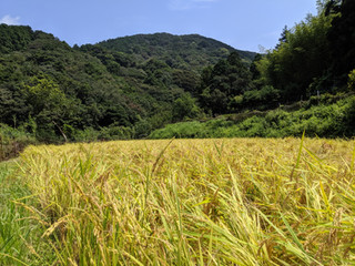 山の田んぼのおいしいお米