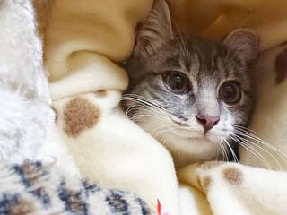 アジャスターリング ちょこちょこ猫
