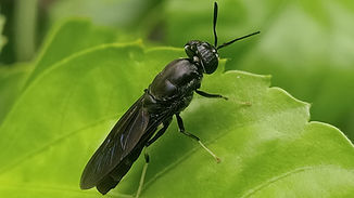 Hermetia illucens, the black soldier fly