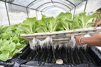Hydroponics vegetables.jpg