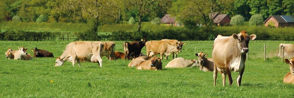 Cow-Banner.jpg