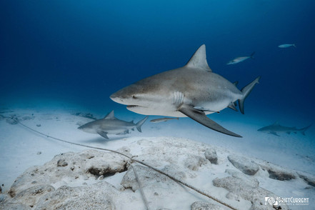 tiburon toro.playa del carmen mexico. dr