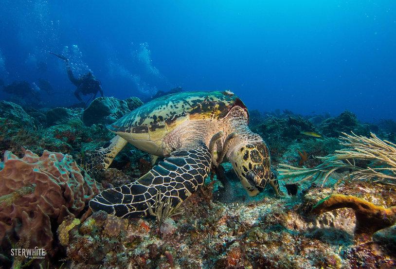 carey turtle..jpg
