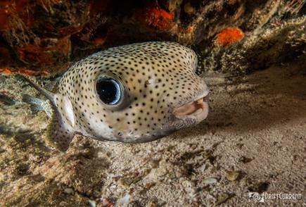 pufferfish.eye1.jpg