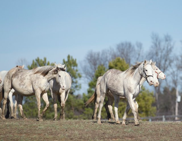 Thoroughbred Mares