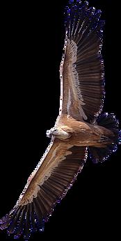 kisspng-turkey-vulture-king-vulture-bird-griffon-vulture-5ae17f7296c1b8.233628081524727666