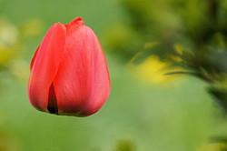 Tulivit tulipe fleur
