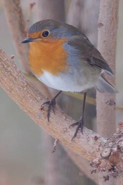 Gorge rouge curieux oiseau