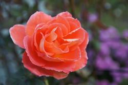 Rose givrée