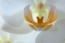 Orchidée son coeur