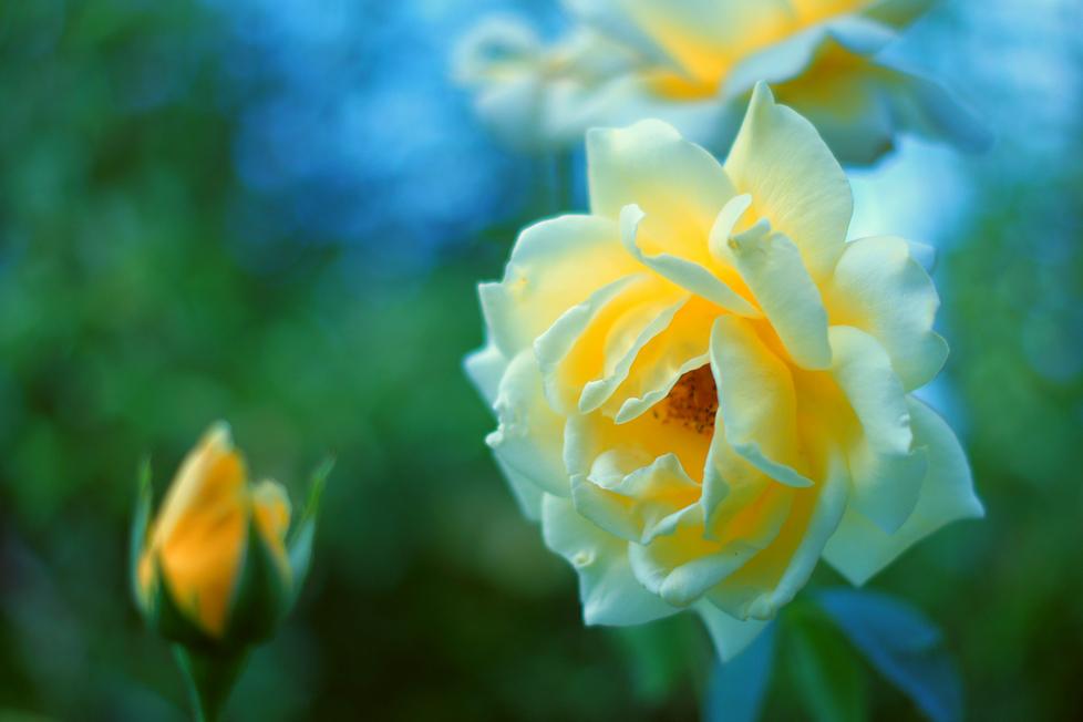 rose couleurs décalées