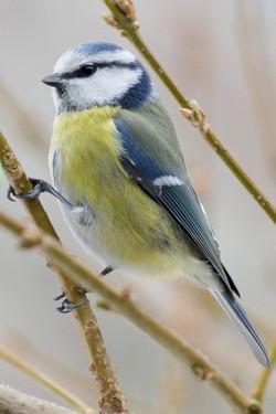 Blanc, gris,Bleu, jaune oiseau