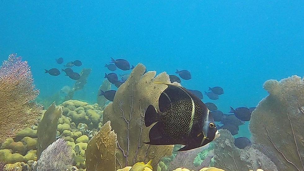 Reef angelfish 2.jpg