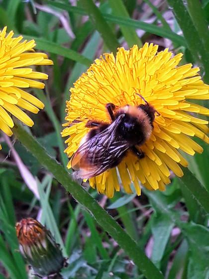 Wildbienen und Honigbienen