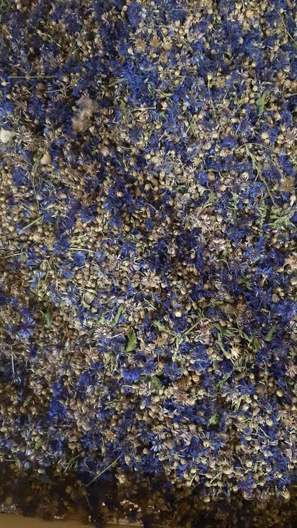 Kornblume blaue