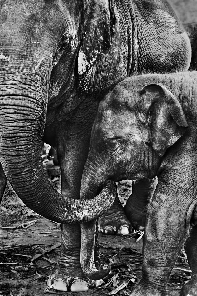 Orphan elephant with his new family, ENP, Chiang mai, Thailand, 2015
