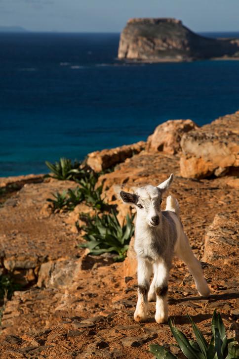 Goat in the trail, Balos, Crete, 2017