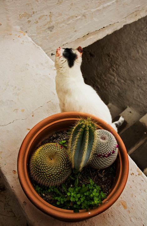 Cat and cactus, Chrysoskalitissa Monastery, Crete, 2017