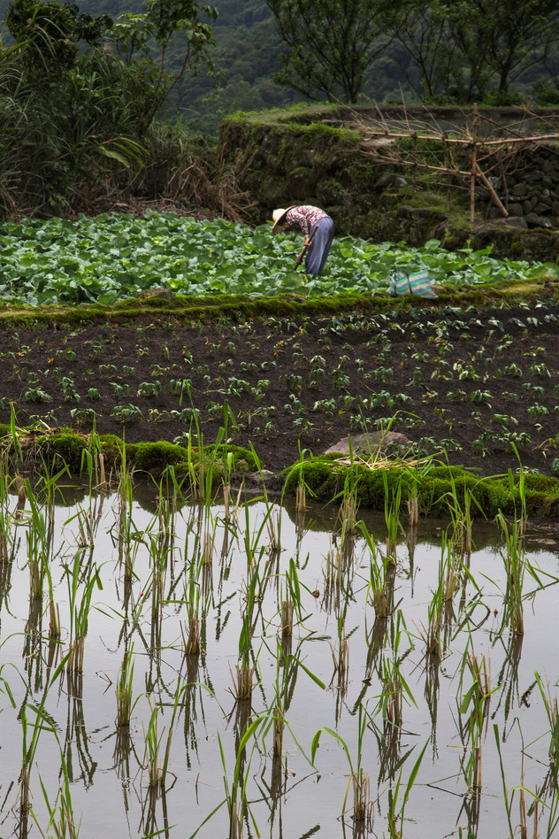 Rice culture, Yangmingshan, Taiwan, 2015