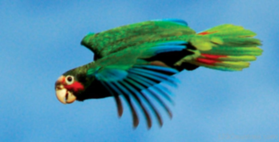Grand-Cayman-Parrot-Photo.jpg