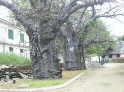 Baobab al Campo Base.jpg