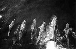 Gennaio 1967 Oceano Atlantico delfini a prua della Galveston Merchant durante la