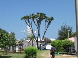 Soaring doum palm trees (mikoma), BSC Base Camp.JPG