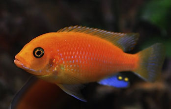 Red_Zebra_Cichlid_edited.jpg